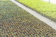 Potted seedlings growing in a plant nursery. Greenhouse food production royalty free stock image