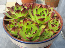 Potted Sempervivum. Sempervivum, known as Houseleeks are a genus of succulent plantswhich grow in rosettes. Displayed here in a pot on a patio Stock Image