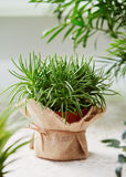 Potted Senecio plant wrapped in burlap. Royalty Free Stock Images