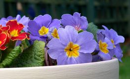 Potted Spring flowers. Royalty Free Stock Photo