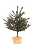 Potted spruce tree Royalty Free Stock Photography