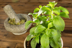Potted stevia plant. Fresh potted stevia plant and dried leaves in a mortar Royalty Free Stock Photo