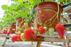 Free Potted Strawberry Stock Image - 115688111