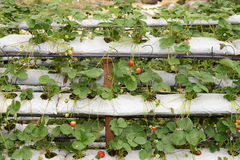 Potted Strawberry Plants Royalty Free Stock Photo
