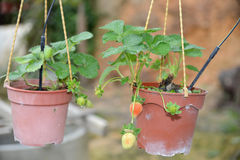 Potted Strawberry Plants Stock Image