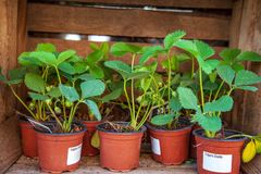 potted strawberry plants with green leaves stock photo