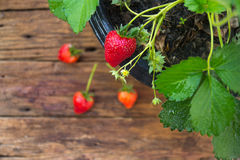 Potted strawberry on wooden background Stock Photography