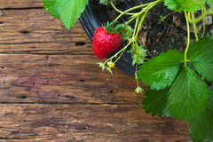 Potted strawberry on wooden background Royalty Free Stock Images