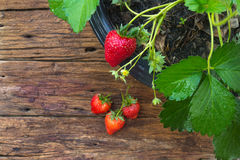 Potted strawberry on wooden background Stock Images