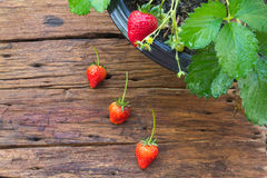 Potted strawberry on wooden background Royalty Free Stock Photos