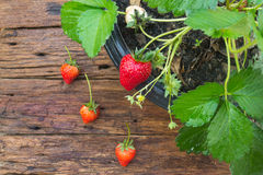 Potted strawberry on wooden background Stock Photo