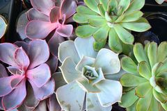 Potted succulent or fat plants, colorful echeveria mix stock photo