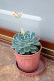 Potted Succulent with Flower Stock Photo
