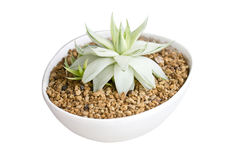 Potted Succulent. Stock Photos
