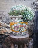 Potted Succulent Plant. A potted succulent plant sits on a wooden stool in South America royalty free stock photo