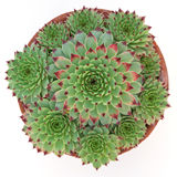 Potted succulent Sempervivum Hirtum Royalty Free Stock Images