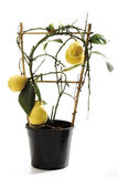 Potted Tahiti lime tree (Citrus latifolia), close-up Royalty Free Stock Images