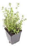 Potted Thyme Royalty Free Stock Image