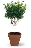 Potted Tree. A potted tree on white Royalty Free Stock Image