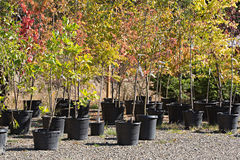 Potted Trees at the Nursery. Several different varieties of young trees in pots at an outdoor nursery Royalty Free Stock Photo