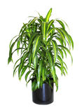 Potted Variegated Dracaena Isolated on White Royalty Free Stock Image