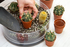 Potted Various of small cactus in a glass pot Royalty Free Stock Photos