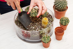 Potted Various of small cactus in a glass pot Stock Photo