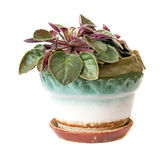 Potted violet Royalty Free Stock Photos