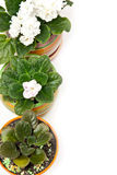 Potted violets Stock Photos