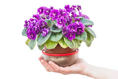 Potted violets on hand Royalty Free Stock Image