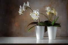 Potted white orchids Phalaenopsis on a shiny sideboard in fron Stock Photos