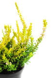 Potted yellow erica plant Royalty Free Stock Photography