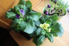 Potten met sleutelbloemen en krokussen op de lijst stock foto