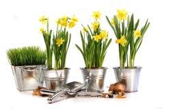 Potten van gele narcissen met tuinhulpmiddelen op wit Royalty-vrije Stock Fotografie