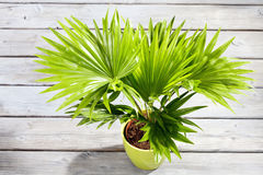 Potter palm tree on wooden floor Royalty Free Stock Photo
