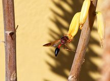 Potter Wasp on Aloe Vera flower stock photography