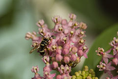 Potter Wasp Feeding on Milkweed Nectar Royalty Free Stock Photos