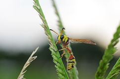 Potter wasp on grass Stock Image
