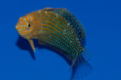 Potters Wrasse Stock Image