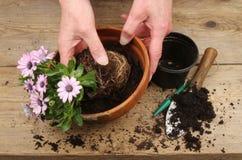 Potting em um Osteospermum Foto de Stock