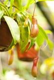 potting nepenthes стоковые фотографии rf