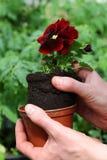Potting pansy seedling Stock Photo