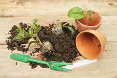 Potting on plants Royalty Free Stock Image