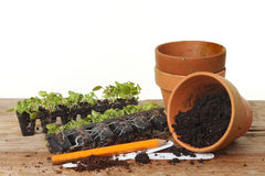 Potting plug plants Royalty Free Stock Image
