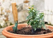 Potting a seedling in a pot of daisies Stock Photo