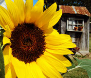 The Potting Shed. Beautiful sunflower takes center stage on this glorious summer morning as its potting shed peers from the background royalty free stock photos