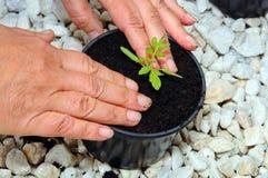 Potting up tomato seedling. Royalty Free Stock Photography