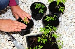 Potting up tomato seedlings. Royalty Free Stock Images