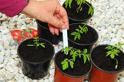 Potting up tomato seedlings. Royalty Free Stock Photos