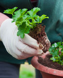 Potting young green plant Royalty Free Stock Photo